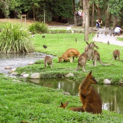 See kangaroos and wallabies at the Wildlife Habitat in Port Douglas