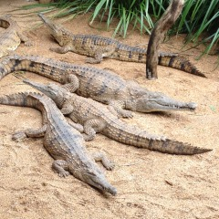 See lots of crocodiles basking under the tropical sun at Rainforestation Nature Park