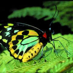 See magnificent varieties of tropical butterflies in the Kuranda rainforest