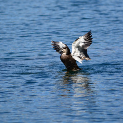 See other native Australian animals such as these migrating Geese