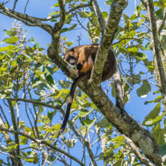 See rare marsupials such as this Lumholtz Tree Kangaroo in Cairns