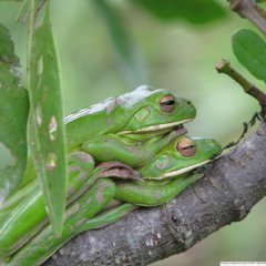 Daintree Rainforest Day Tour | From Cairns Tropical North Queensland | White Lipped Frog