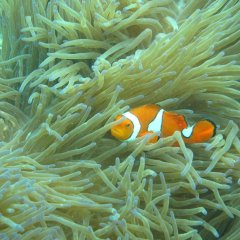 See the Clown Fish hiding in the anenome