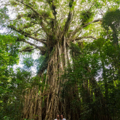 See the Curtain Fig Tree on Atherton Tablelands