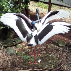 See the dancing Brolgas at the Wildlife Habitat in Port Douglas Queensland Australia