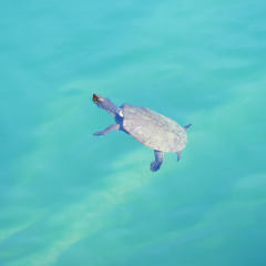 See wild turtles in the Volcano Craters in Cairns