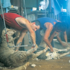 Sheep Shearers in the outback at Longreach
