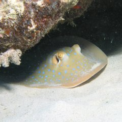 Shy Sting Ray on the Great Barrier Reef