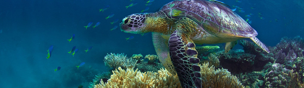 Great Barrier Reef Tours ,Snorkel & Dive Tours in Cairns - Turtle on the reef
