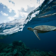 Snorkel with turtles on your Great Barrier Reef tour from Cairns