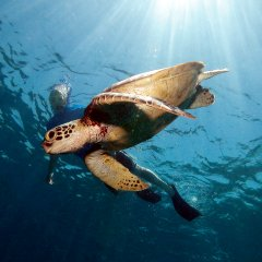 Snorkelling with sea turtles at Lizard Island on the Great Barrier Reef