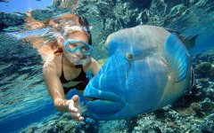 Snorkelling with Wally the Maori Wrasse on the Great Barrier Reef