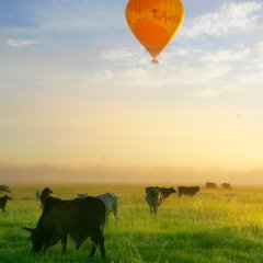 Soar above the fields of grazing cows and kangaroos on your Cairns or Port Douglas hot air balloon