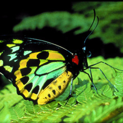 Species You Will Find At The Butterfly Sanctuary | Birdwing Butterfly