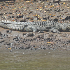 Crocodile Spotting On Cairns Harbour Cruise