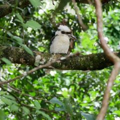 Spot the local wildlife - Kookaburra | Kuranda ATV Tour