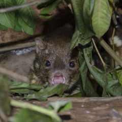 Spotted-Tail Quoll at Night