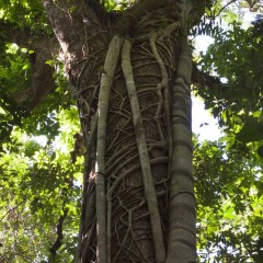 Strangler Fig Tree & a vine in a symbiotic relationship in the Daintree Rainforests Queensland