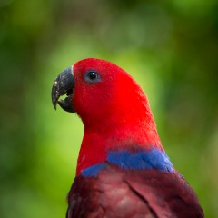 Stunning Australian Wildlife | Eclectus Parrot Native To Northeastern Australia | Extended 4WD Camping Trip