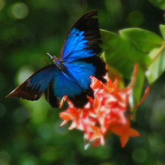 Stunning Ulysses Butterflies Inhabit The World Heritage Rainforest | Private Tour Departs From Cairns & Northern Beaches In Tropical North Queensland