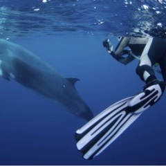 Swim And Interact With Minke Whales | Liveaboard Snorkel And Dive Trip | Small Group 36 Guests