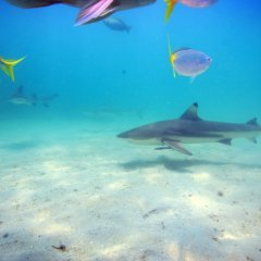 Swim & Feed sharks on the Great Barrier Reef