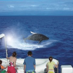 Swim with Dwarf Minke Whales Port Douglas July August each year on the Great Barrier Reef