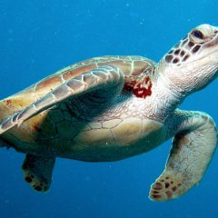 Swim with lot's of turtles on the Cairns Great Barrier Reef