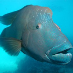 Swim with the friendly and huge Maori Wrasse fish