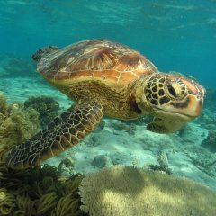 Swim with turtles at Low Isles on the Great Barrier Reef