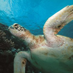 Swim with turtles Great Barrier Reef from Port Douglas Queensland Australia