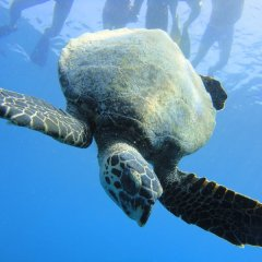 Swim with turtles on the Great Barrier Reef in Australia