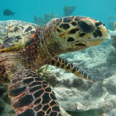 Swim with Turtles on the Great Barrier Reef