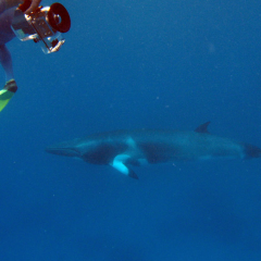 Swim with Whales July to August Great Barrier Reef Australia