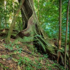The Daintree Rainforest Trees are millions of years old