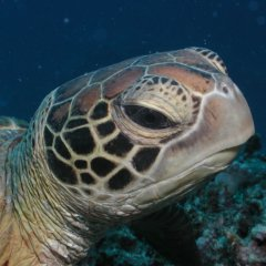 The Low Isles off Port Douglas are well known as a place to snorkel with sea turtles