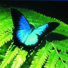 The Most Famous Tropical North Queensland Butterfly | Ulysses | Day Tour To Kuranda Incl Australian Butterfly Sanctuary