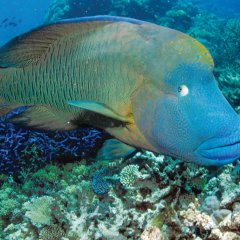 Friendly Maori Wrasse Fish | Great Barrier Reef Australia | Full Day Or Half Day Reef Trip