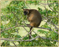 Tree Kangaroos in abundance surrounding Mt Quincan Crater Retreat