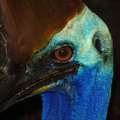 Tropical North Queensland Birdwatching | Cape York Outback 4WD Safaris | Explore The Wetlands | Cassowary