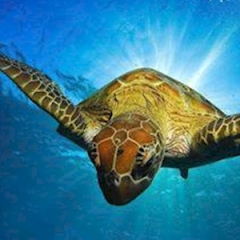Scuba Dive with Turtles on our Great Barrier Reef Tour in Cairns