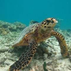 Turtles are well camouflaged on the coral bommies