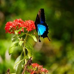 Ulysses Butterfly | There is lots of wildlife to see on your Kuranda Rainforest ATV Tour