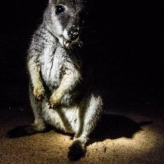 See wild Rock Wallabies up close on this Cairns night tour