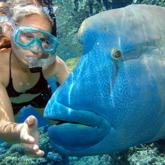 Up Close with Maori Wrasse - Reef Tour