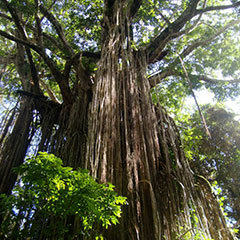 Visit the Curtain Fig Tree in Atherton Tablelands