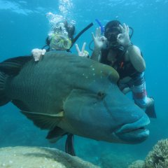 Great Barrier Reef Tour | Huge Maori Wrasse fish with Scuba divers