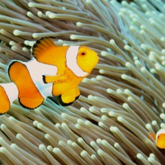 We Found Nemo The Clown Fish On The Great Barrier Reef | Private Sailing Boat Ex Cairns