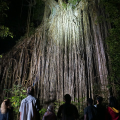 We visit the Curtain Fig Tree, Atherton Tablelands