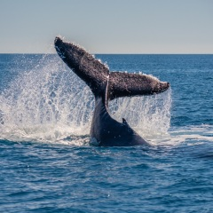 Whale Watching Tours Cairns - Tail Slap